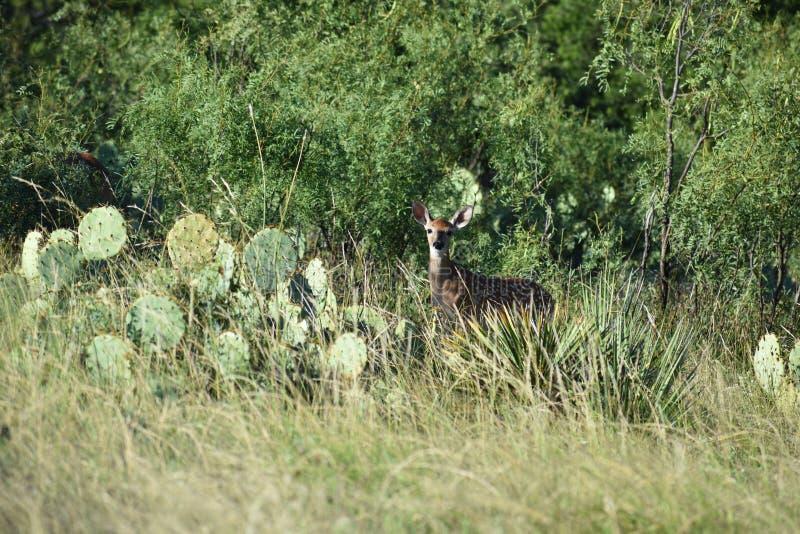 bianco della coda del Montana dei cervi fotografie stock libere da diritti