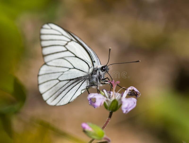 bianco della farfalla fotografie stock libere da diritti