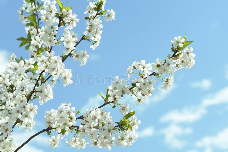 Bianco della sorgente dei fiori di ciliegia fotografia stock
