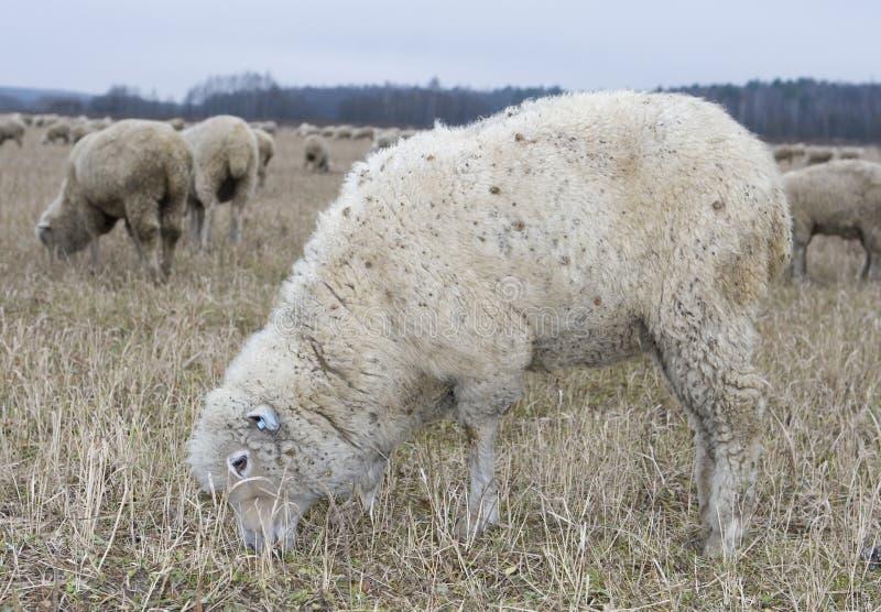 bianco delle pecore fotografie stock libere da diritti