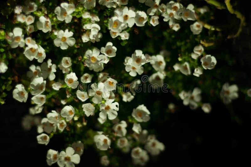 Bianco di Bacopa fotografia stock libera da diritti