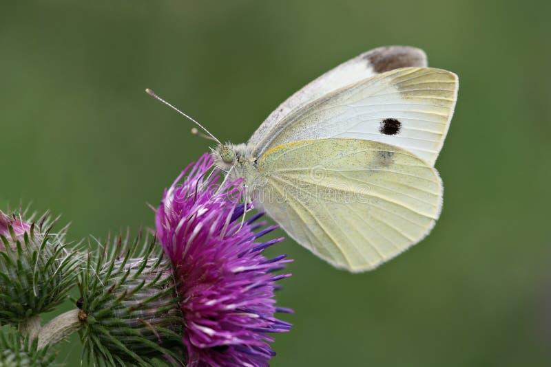 Bianco di cavolo su un cardo selvatico fotografia stock