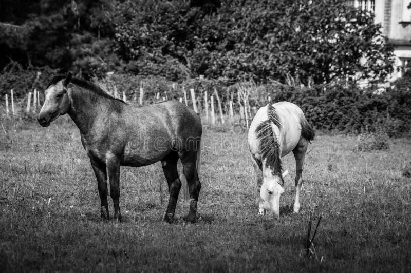 Bianco e cavallo di Brown Camargue Camargue - in Provenza, Francia fotografia stock libera da diritti