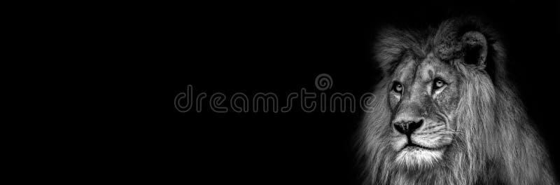 In bianco e nero ad alto contrasto di un fronte africano maschio del leone fotografia stock libera da diritti