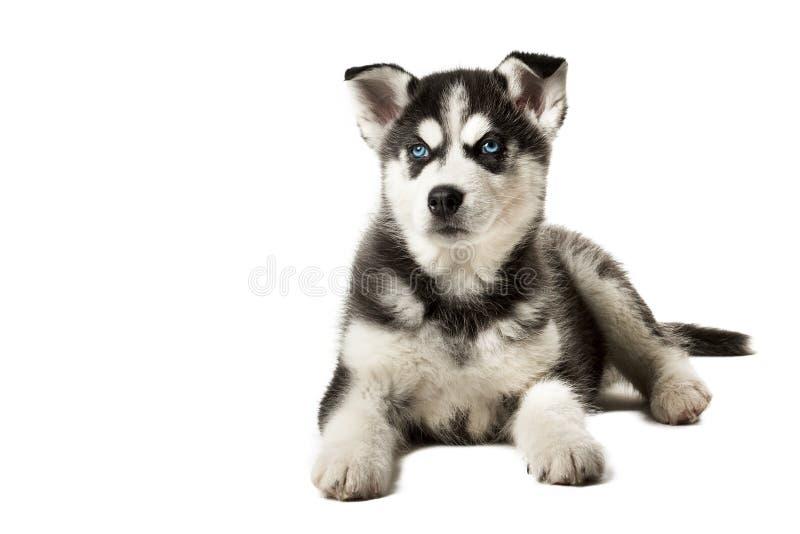 In bianco e nero adorabile con il cucciolo del husky degli occhi azzurri fotografia stock - Husky con occhi diversi ...