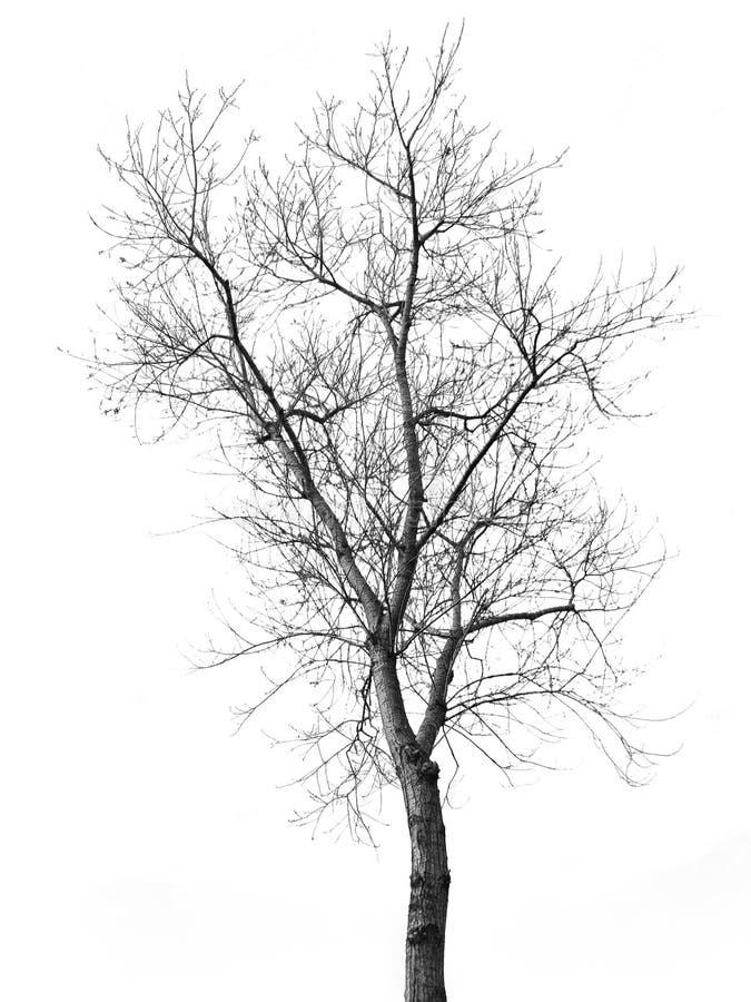 Bianco e nero asciutto isolato dell'albero fotografia stock libera da diritti