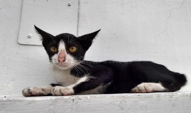 In bianco e nero con il gatto giallo degli occhi immagine stock libera da diritti