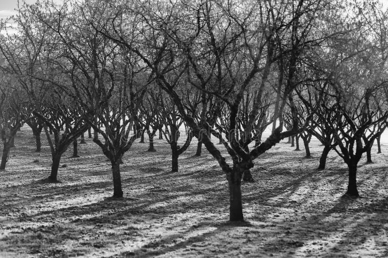 In bianco e nero del frutteto coperto gelo immagini stock
