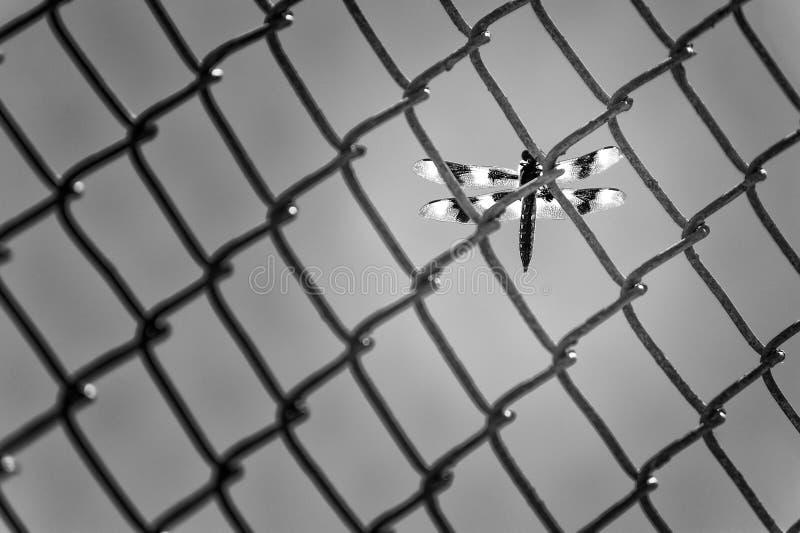 In bianco e nero della mosca del drago sul recinto del collegamento a catena immagine stock libera da diritti