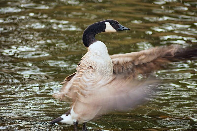 In bianco e nero delle ali di sbattimento dell'oca immagini stock libere da diritti