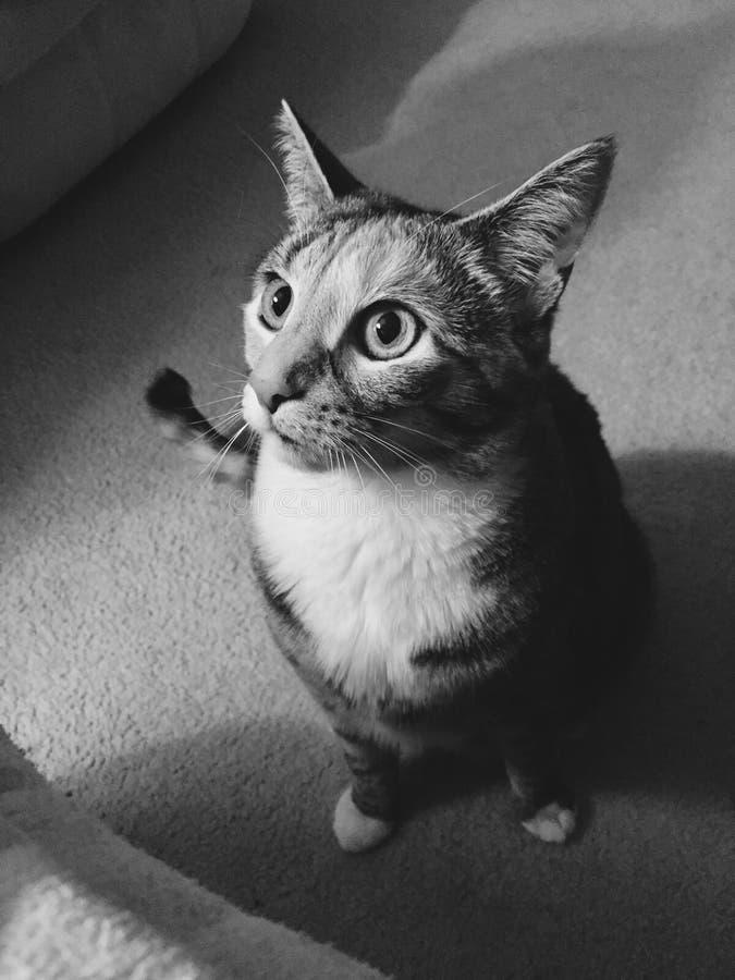 In bianco e nero   Junior Tabby Girl Cat grazioso immagini stock libere da diritti
