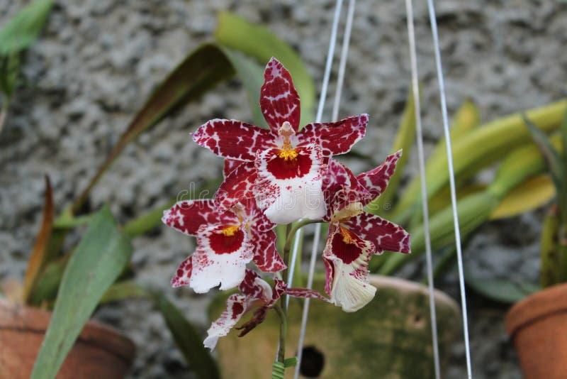 Bianco ed orchidea Brasile di Brown fotografie stock libere da diritti
