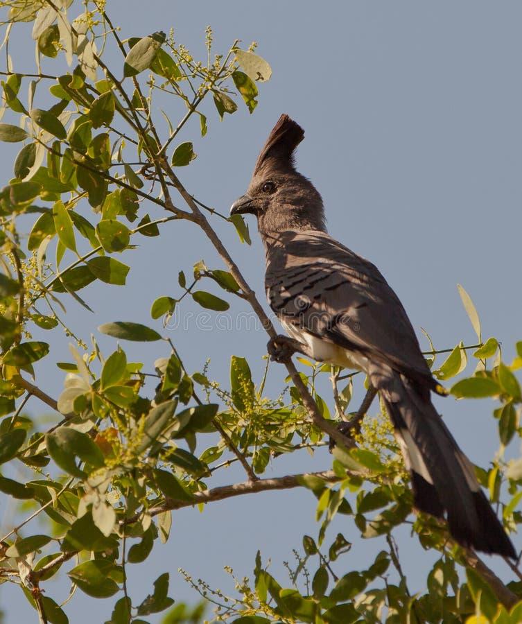 Bianco-gonfiati Vanno-via uccello immagine stock