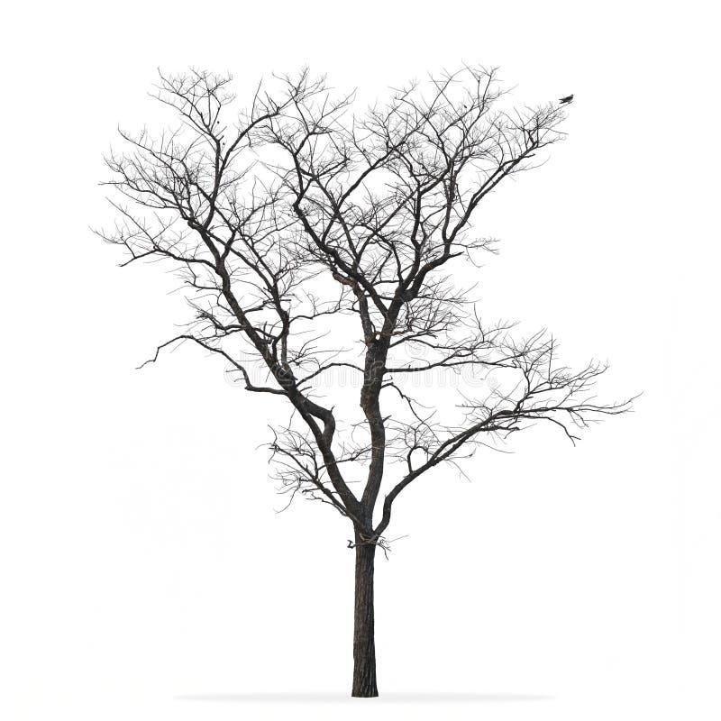 Bianco isolato albero sfrondato fotografia stock libera da diritti