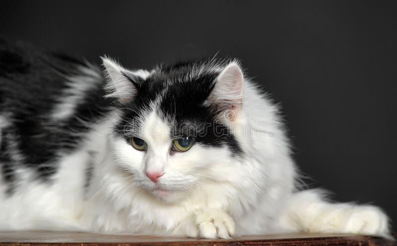 Bianco lanuginoso con il gatto nero fotografia stock libera da diritti