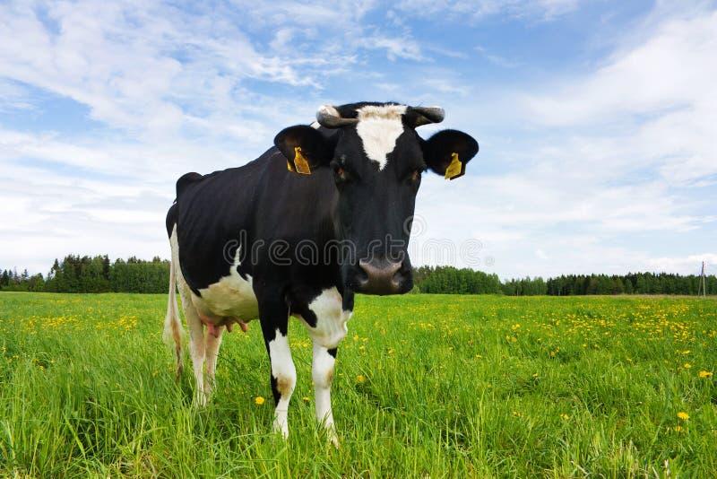 bianco nero della mucca fotografia stock