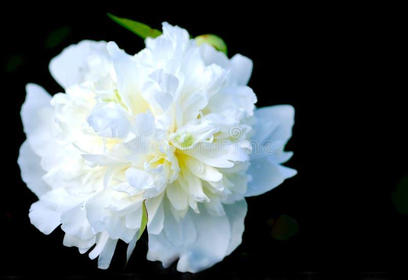 Bianco perla sul nero fotografia stock