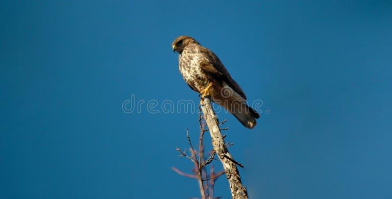 Biarmicus de Falco de faucon de montagne de Lanner images libres de droits