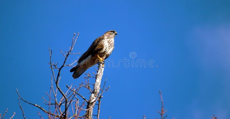 Biarmicus de Falco de faucon de montagne de Lanner image libre de droits