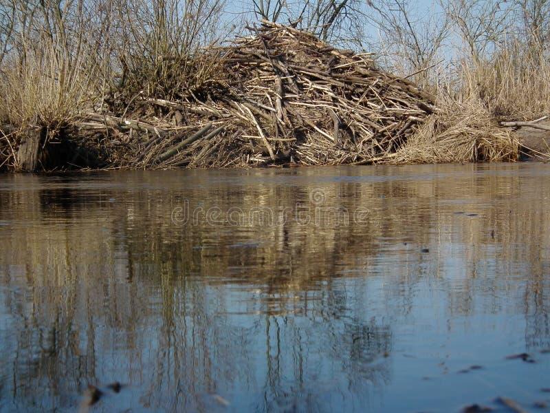 Biber bringt auf den Banken des Flusses unter Niederlassungen vereinbarten das Haus stockfotografie