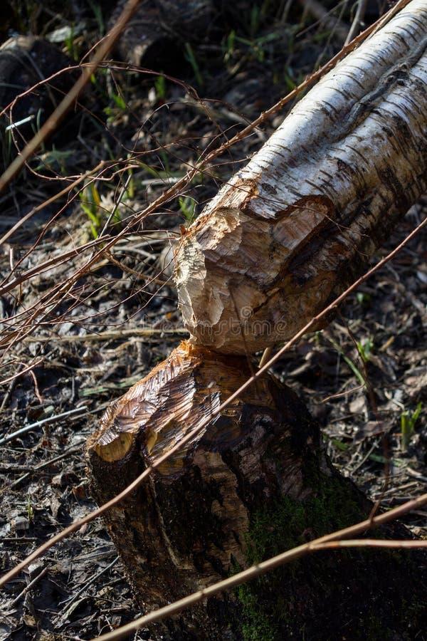 Biber, der einen Baum verringert lizenzfreie stockfotografie