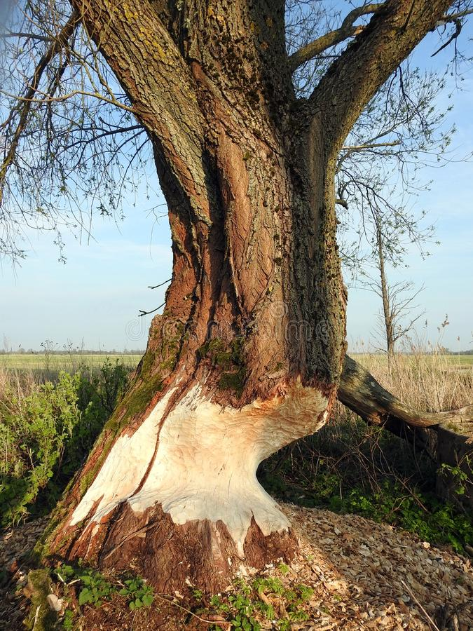 Biber essen Baum im Sumpf, Litauen lizenzfreie stockbilder