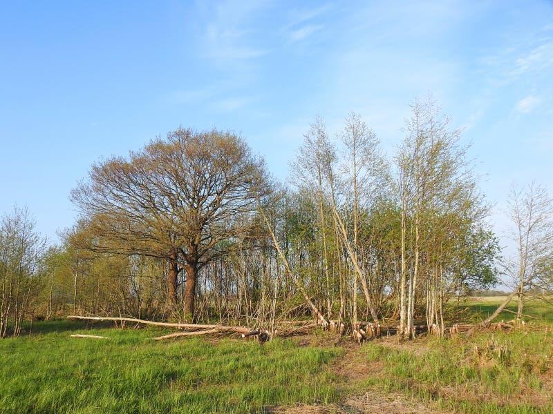 Biber essen viele Bäume im Sumpf, Litauen stockfoto