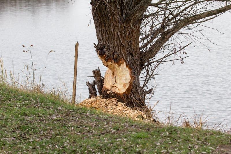 Biber gegen Baum lizenzfreies stockbild