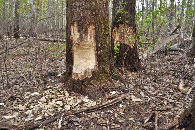 Biber haben vor kurzem abgenagte Bäume stockfotos