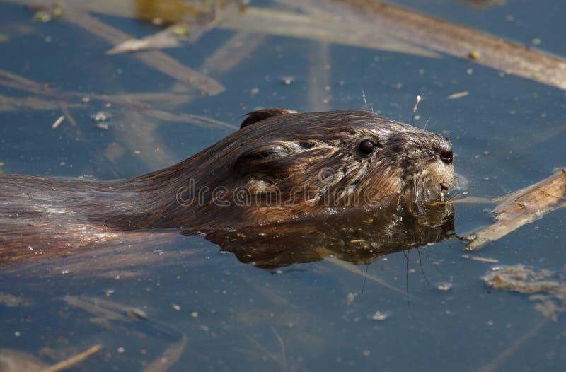 Biber im Wasser Porträt-Schwimmenbiber der Nahaufnahmewild lebenden tiere lizenzfreie stockfotos