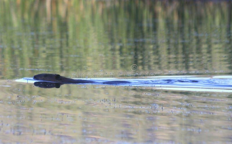 Biber-Schwimmen in einem See lizenzfreie stockbilder