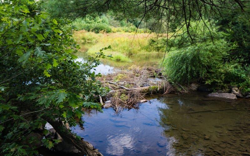 Biber-Staudamm in Feuchtgebieten stockbilder