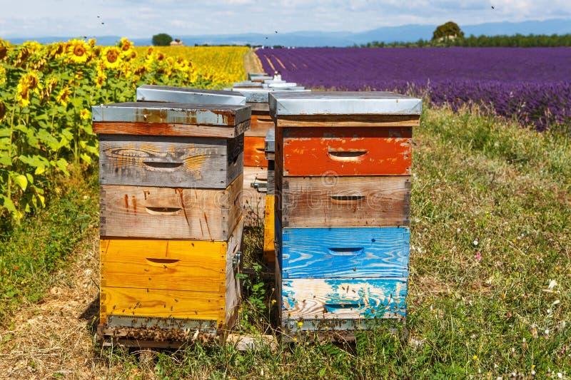 Bibikupor på lavendel sätter in, nära Valensole, Provence royaltyfri bild