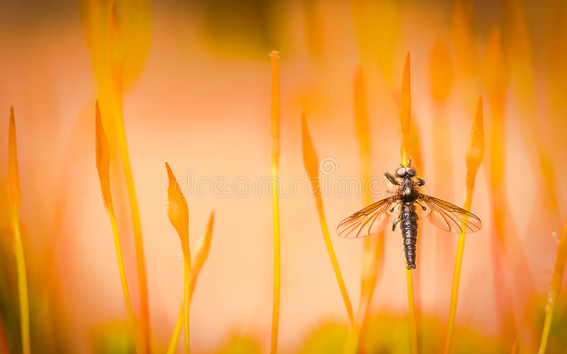 Bibio Reticulatus - Spring fly landed on the moss stock image