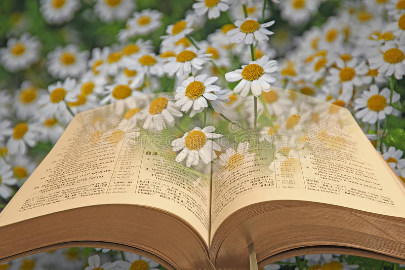 Bible in daisy field royalty free stock photography