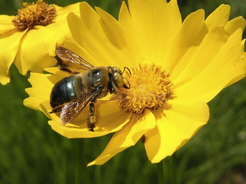 Download Biblomma arkivfoto. Bild av kryp, blomma, fjäder, yellow - 522134