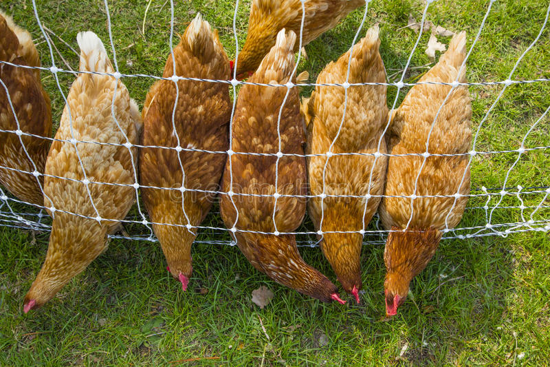 Bicando a ordem: Galinhas alinhadas procurando o alimento imagem de stock