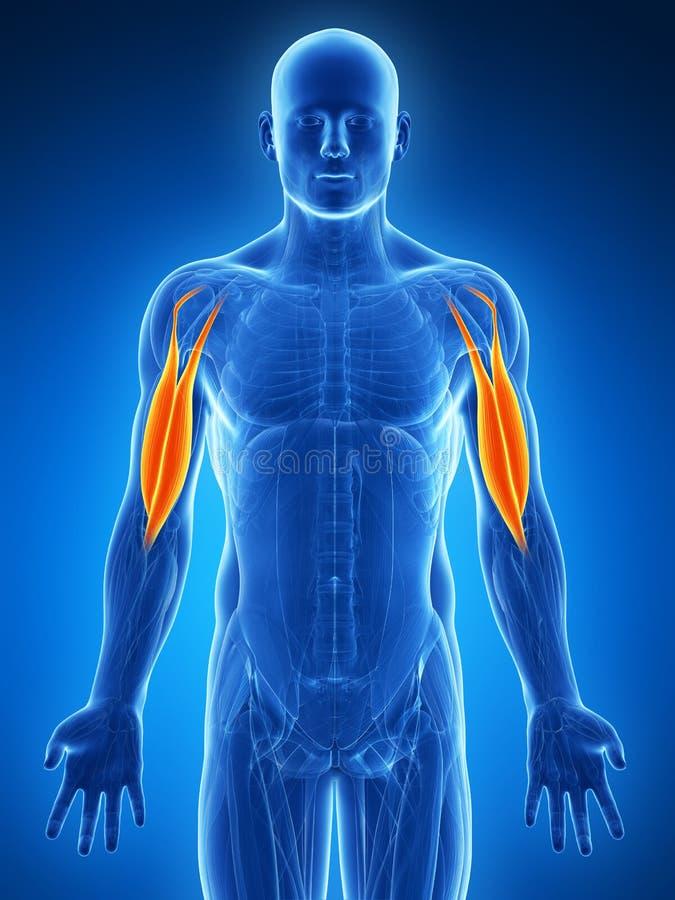 Biceps accentué illustration de vecteur