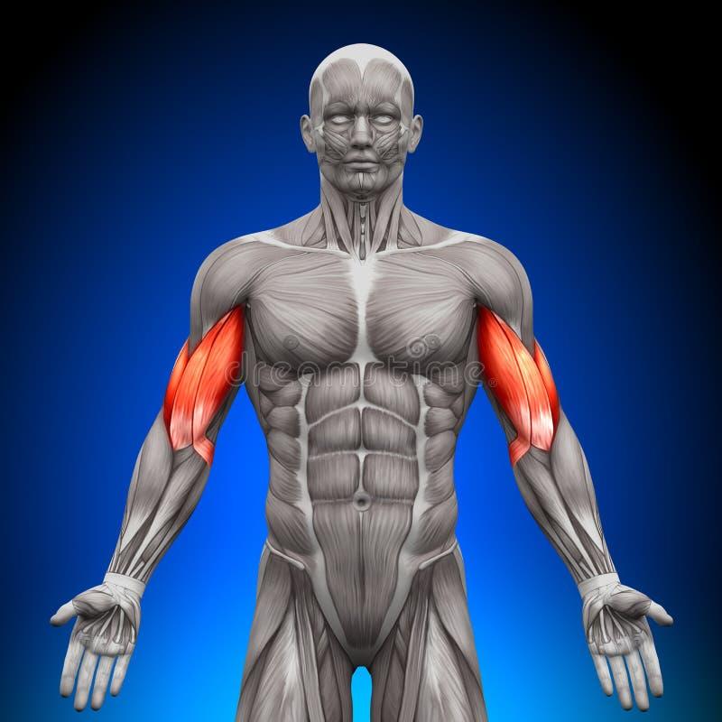Biceps - anatomimuskler vektor illustrationer
