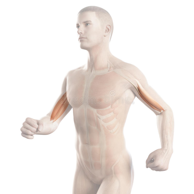 The biceps muscle of a jogger. Anatomy illustration showing the biceps muscle of a jogger stock illustration