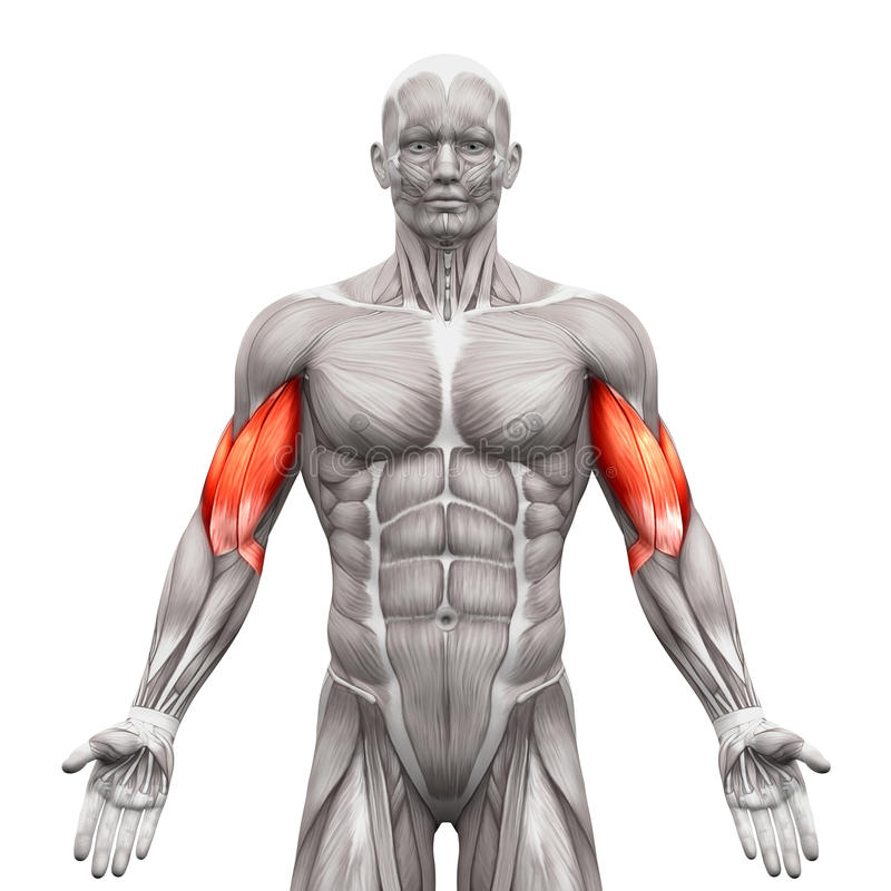 Free Biceps Muscles - Anatomy Muscles Isolated On White - 3D Illustration Royalty Free Stock Photos - 71503288