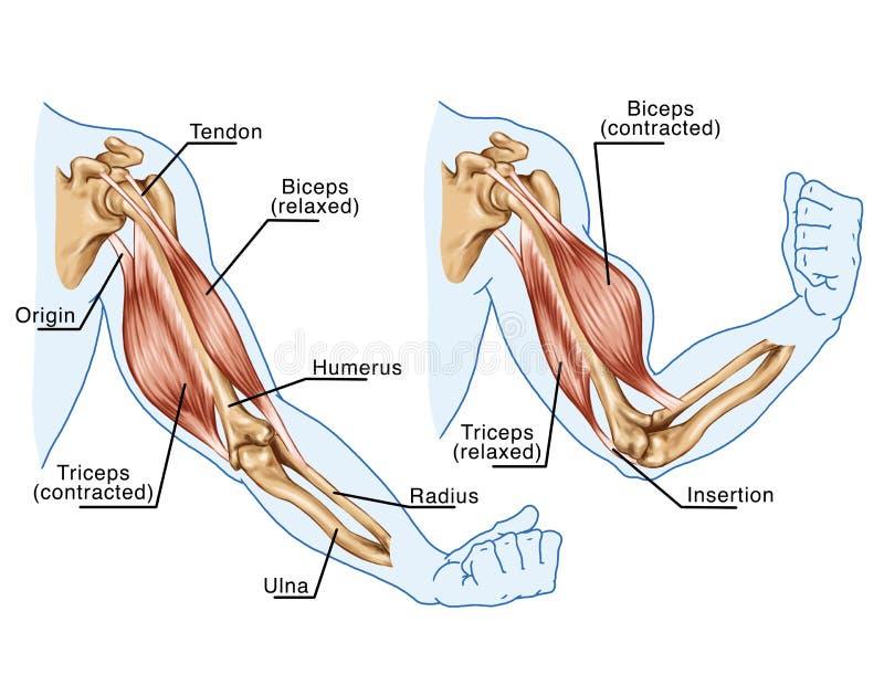Biceps, triceps - mouvement du bras illustration libre de droits