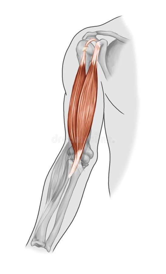 Bicepsmuskler vektor illustrationer