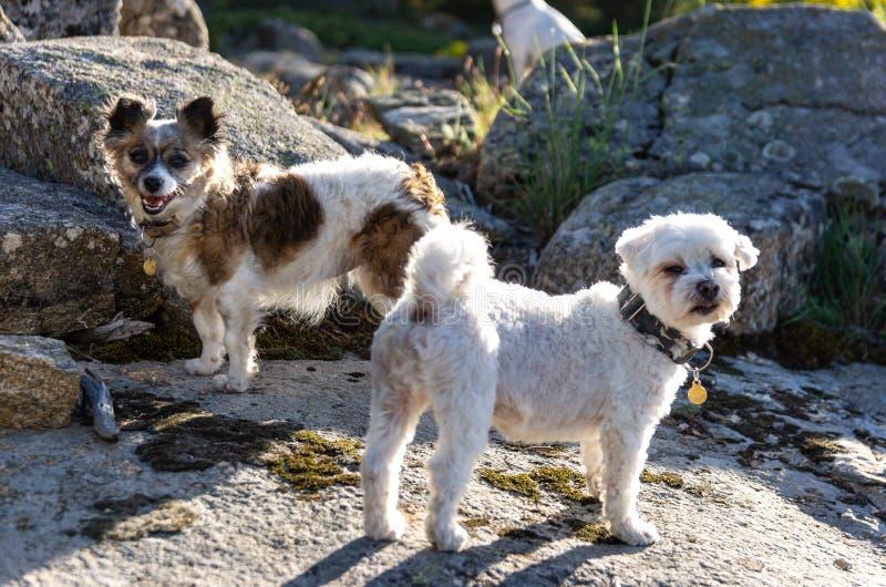 bichon和papillon狗的画象 免版税库存照片