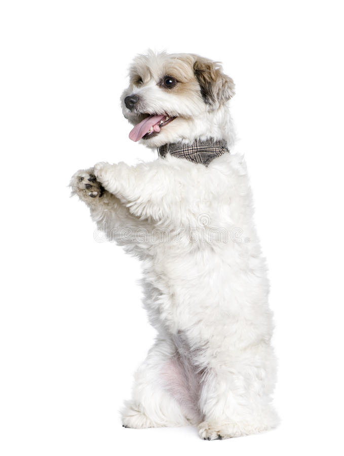 bichon品种狗插孔混杂的罗素 免版税库存照片