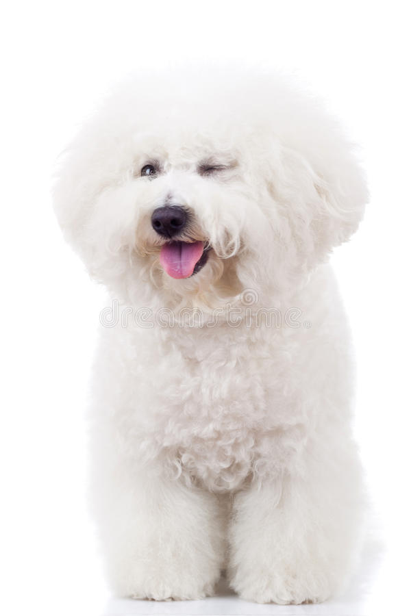 bichon το σκυλί φωτογραφικών μηχανών το κλείσιμο του ματιού κουταβιών στοκ εικόνες