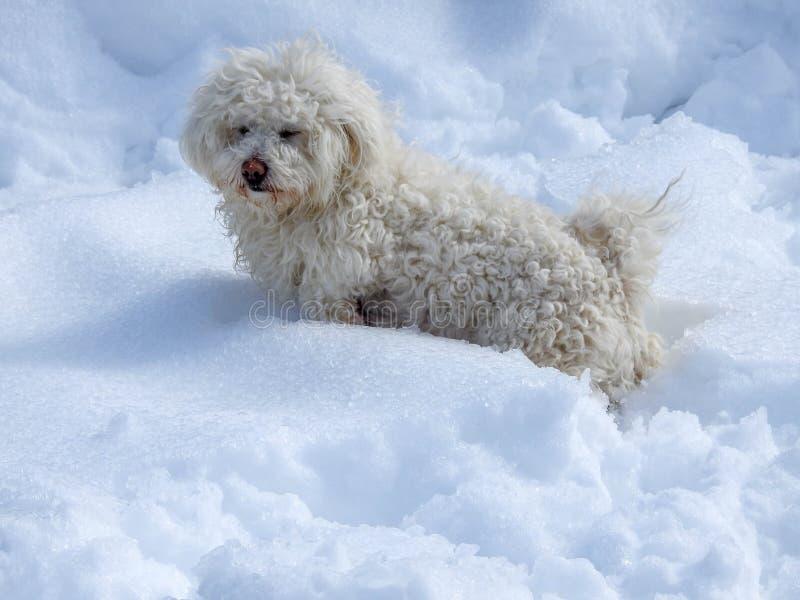 Bichon blanc dans la neige image stock