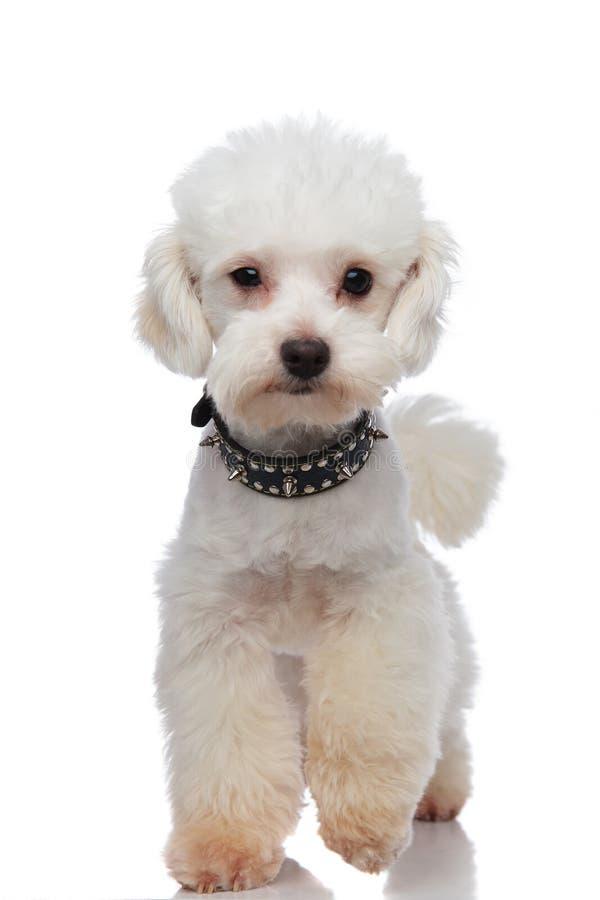 Bichon blanco adorable que lleva el escalonamiento claveteado negro del cuello fotografía de archivo