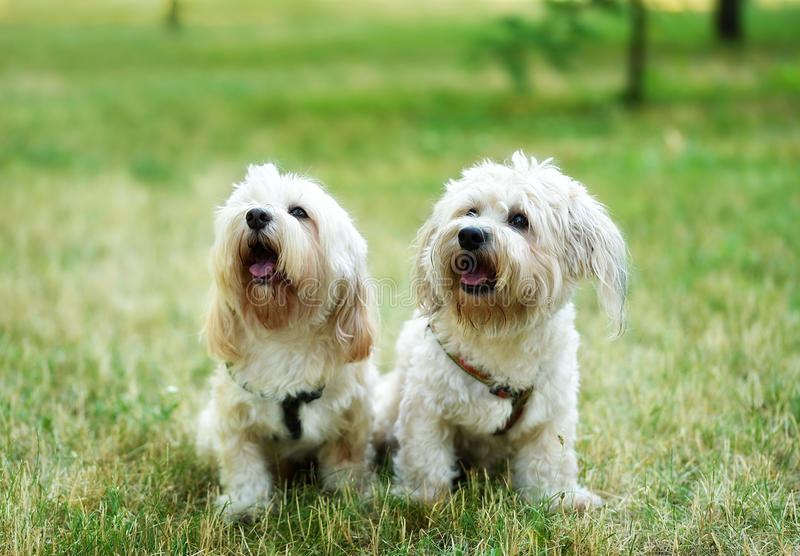 Bichon bolognese dog in geen. Bichon bolognese dog in the park stock image