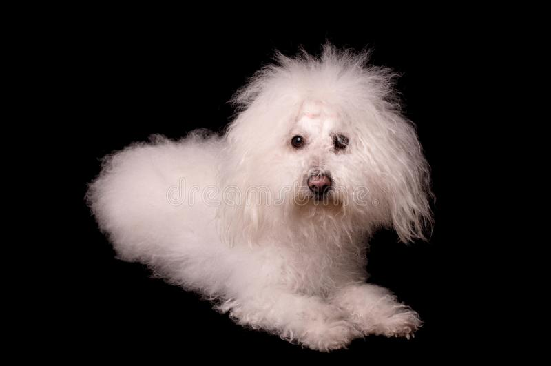 Bichon bolognese dog isolated on black background. Bichon bolognese dog isolated on a black background royalty free stock images